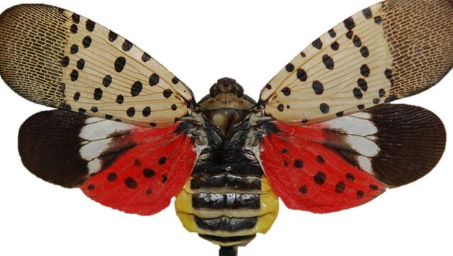 The colorful spotted lanternfly adult is unmistakable in the landscape.