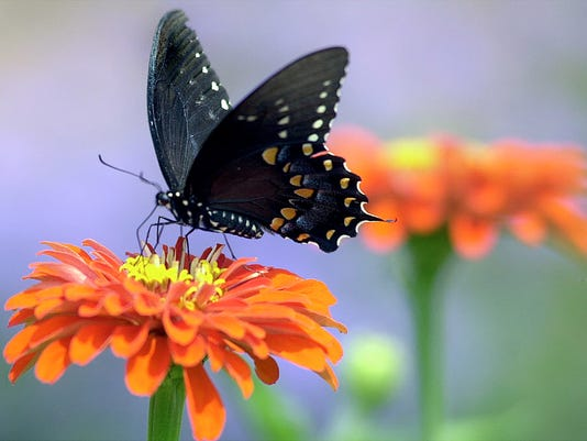 black-swallowtail-butterfly.jpg