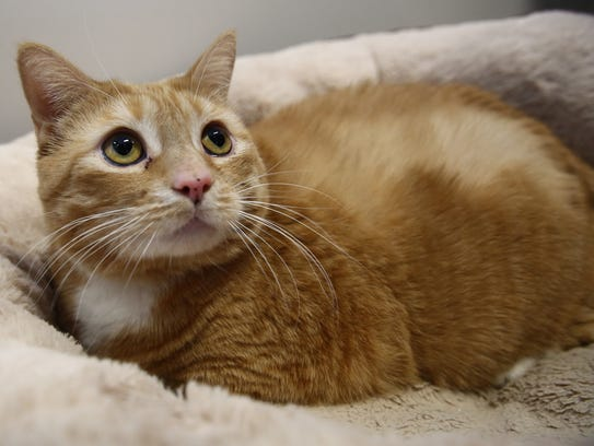 Bertha, a spayed female cate up for adoption at the