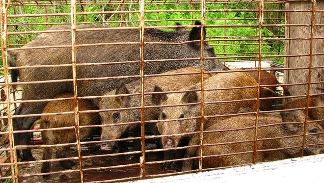 Feral hogs caught in South Louisiana are shown after being captured. Louisiana has about 500,000 such hogs, and their numbers are growing quickly.