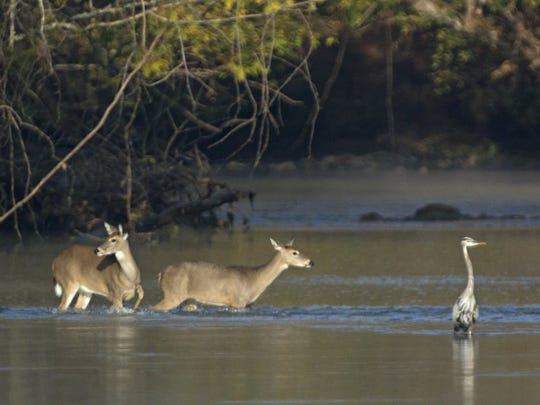 Deer wade in the shallows of the French Broad River with a hunting great blue heron in Seven Islands State Birding Park in Kodak on Oct. 27, 2014.