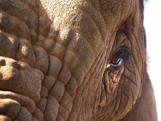 Tonka, a male African elephant, makes eye contact with visitors at the Knoxville Zoo on Wednesday, Oct. 22, 2014.