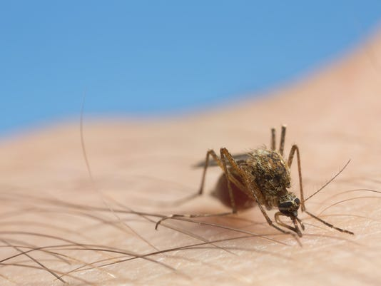 Mosquito fille with blood feeding on human skin
