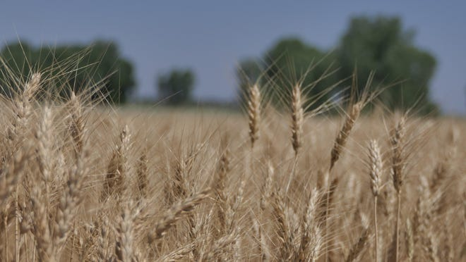 Martin Kerschen's wheat field in Reno County, Kansas on June 17, 2020.