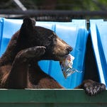 A black bear scavenges for food in a trash bin in Fort Myers. It will be legal to kill them later this year.