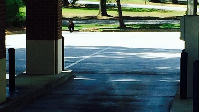 A bear was spotted by the BB&T bank in Belton.
