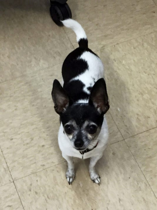 Willow, 7, is a rat terrier-Chihuahua mix whose owner entered a nursing home. Willow should be the only dog in the home.