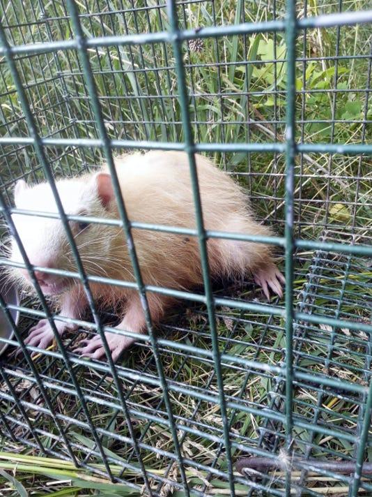 635899495476374303-0201-albino-groundhot.jpg