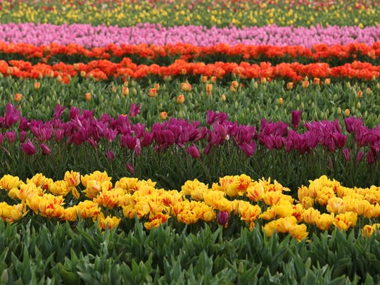 Rows of colorful tulips are seen in bloom on March