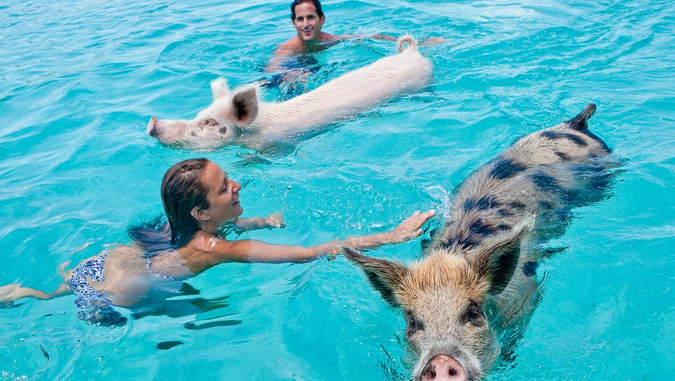 The pigs are as comfortable in the water as they are