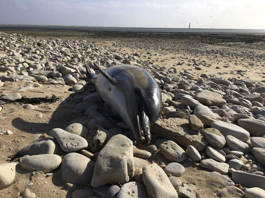 France has been shaken into action after a record number of dead dolphins have washed up on the country's Atlantic coast this year, many clearly victims of industrial fishing.