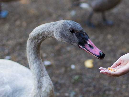 Feeding the swans is one of the many things to do at the Kellogg Bird Sanctuary.