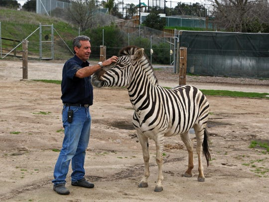 Charlie Sammut, Monterey Zoo director, and Jasmine, a Grant's zebra, say hello in the morning air