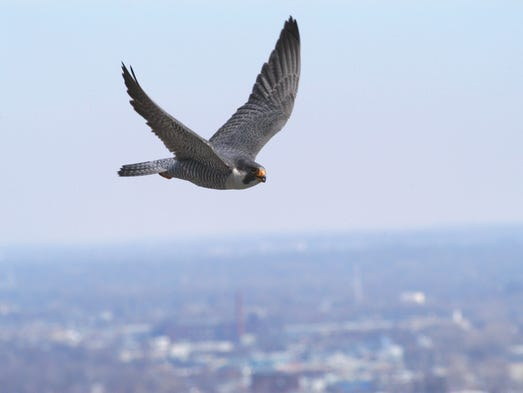 One of the peregrine falcons flies around Market Tower on Monument Circle in downtown Indianapolis in 2011. The male has been named Kinney and the female KathyQ.