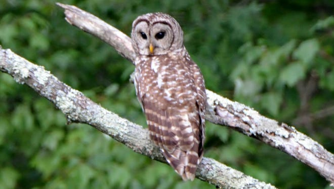 Karen spotted this barred owl close to our home, and I was able to get some great close-up shots.