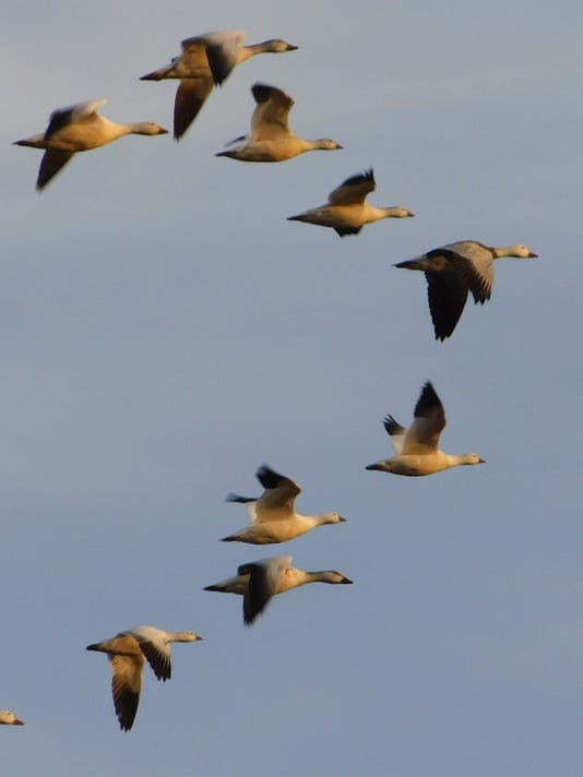 020218Snow-geese.jpg