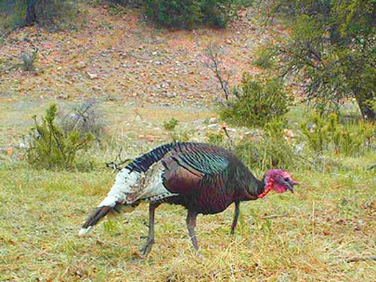 The New Mexico Department of Game and Fish has been working to creating better turkey hunting opportunities in the state.