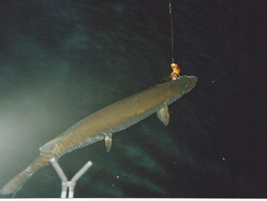 A musky is ready to be hooked during a guided outing