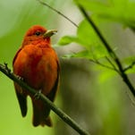 DENNY SIMMONS / COURIER & PRESS A summer Tanager perches on a tree branch with an insect in its beak at the Audubon Wetlands Monday morning. The wetlands is now officially part of the John James Audubon State Park in Henderson, Ky.