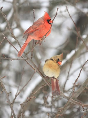 Indiana's state bird, the northern cardinal, color up the winter scene.