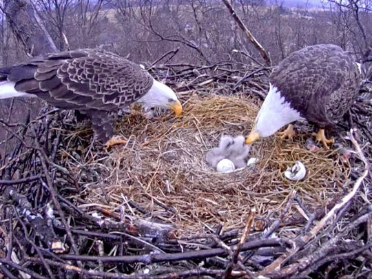 Two eagles in Codorus State Park feed their newly hatched eaglets Wednesday, March 25, 2015 in this image from the eagle cam installed by the Pennsylvania Game Commission.
