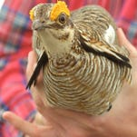 Feds remove the lesser prairie chicken from protection list