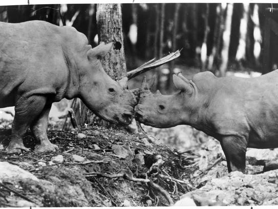 Two rhinos pictured on May 3, 1973 at Jungle Habitat