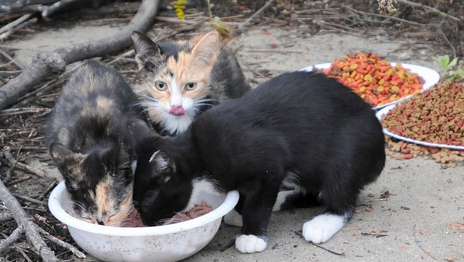 Kittens eat from food laid out in a controlled feral cat colony in downtown Marseilles, Ill., on Sept. 14, 2011.