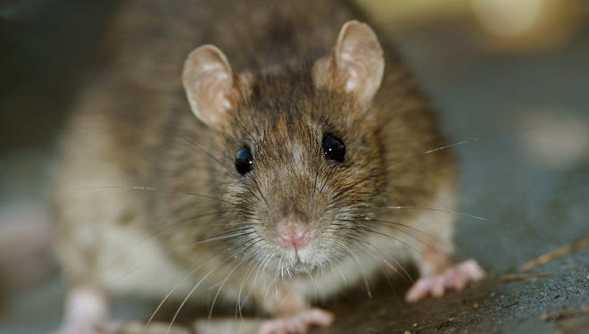 Once a rat's food and shelter are taken away, its population will decline as well.