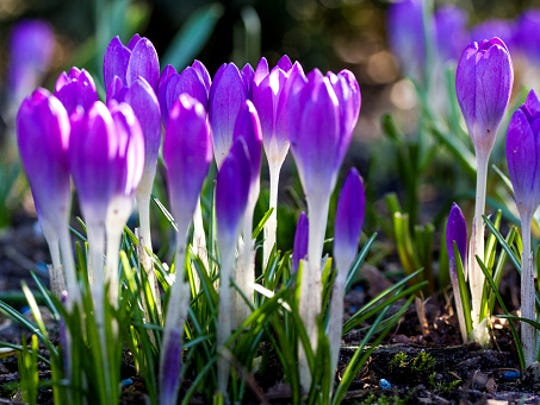 Early bulb flowers such as crocuses are a welcome sight at the end of winter.