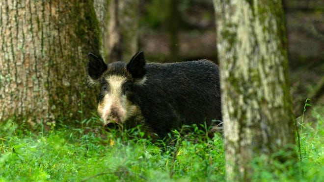 A wild hog is seen in an undated photo in the Great Smoky Mountains National Park.