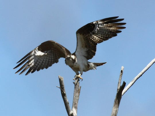 Osprey is a common spring and fall migrant, but an active nest was recently found south of Beacon.