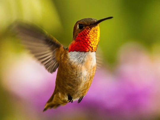 The Allen's hummingbird breeds in areas of coastal California and southern Oregon. In migrates between those areas and Mexico. This hummingbird is one of many bird species that the National Audubon Society predicts will be threatened by climate change.