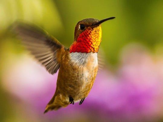 -2012_Allens_Hummingbird_LoiNguyen_AudubonPhotographyAwards.jpg_20140909.jpg
