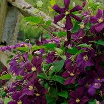 The Hoosier Gardener: Climbing or trailing, clematis is queen in the garden