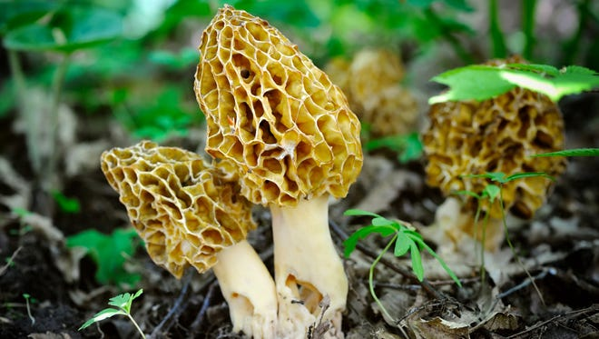 Morel mushrooms like to live on the edge of the forest.