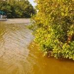 Kayakers paddled in the Thousand Islands off of Ramp Road in Cocoa Beach Wednesday, where the water in the Banana River looked as brown as coffee.