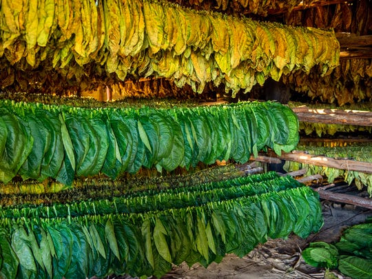 Leaf tobacco on drying racks.
