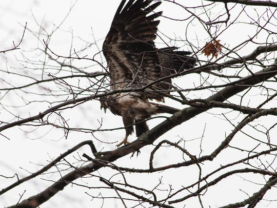 """According to """"Hawks and Owls of Eastern North America,"""""""