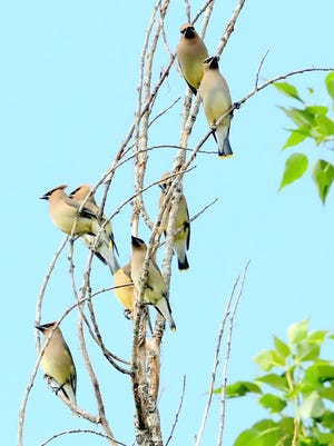 Resembling a delicate oriental painting, a small flock of Cedar waxwings visited a tree near the home of photographer David Tremblay. They are nomadic and move about irregularly. Breeding and wintering areas may change from year to year, depending on food supplies.