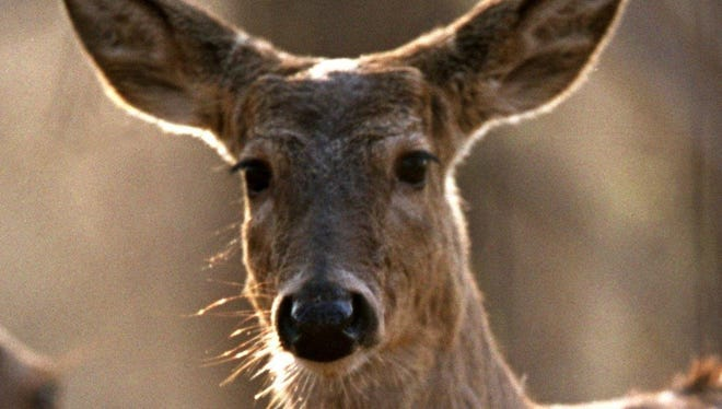 Officials have tested 135 free-ranging deer since a female with chronic wasting disease was found in May.