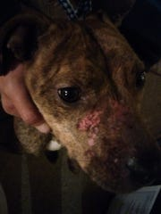 Sadie, a pit bull-great dane mix, was attacked by a coyote in Red Lion on Sunday.