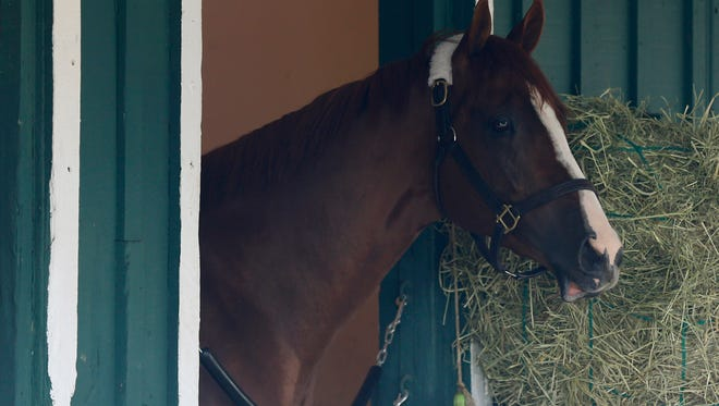 California Chrome in the barn before the 139th Preakness Stakes at Pimlico Race Course.