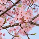 Early flowering cherry tree