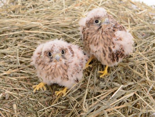 HES-stockimage-021216-stock image peregrine falcons.jpg
