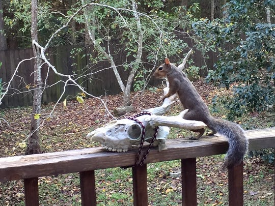 Squirrels continuously gnaw on hard nutshells or wood