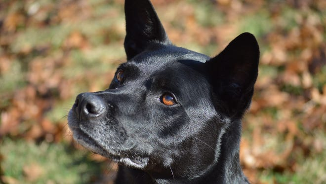 Lucy N the Sky, a 7-year-old Lab mix, = has been at Nashville Humane Assocation since June.