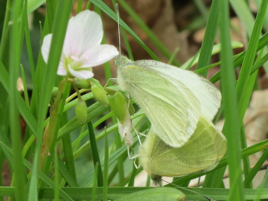 West Virginia white butterflies in John Todd Park last May.