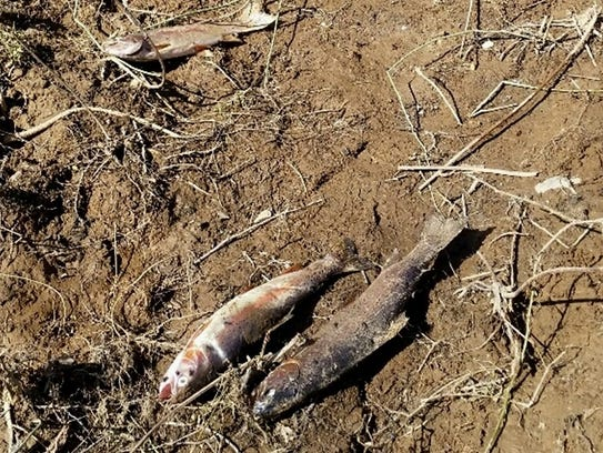 These fish were stranded in an area in south Redding