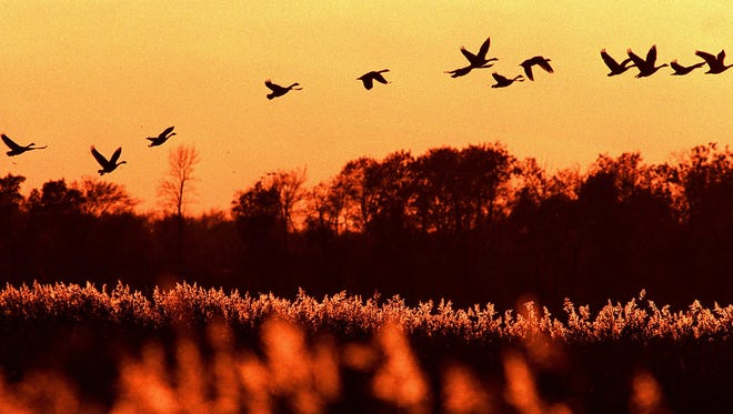 The setting sun paints a glow over Horicon Marsh as a flock of geese take off in this 1998 photo.